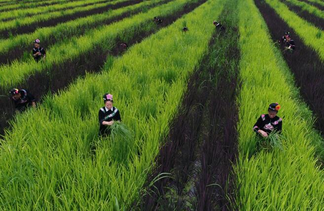 """阳芳村村民在""""五彩稻谷""""田间劳作。"""