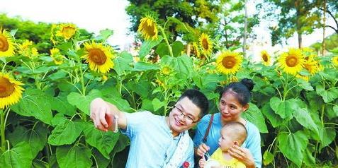 昨日天气晴热,不少市民游客到忠仑公园观赏向日葵