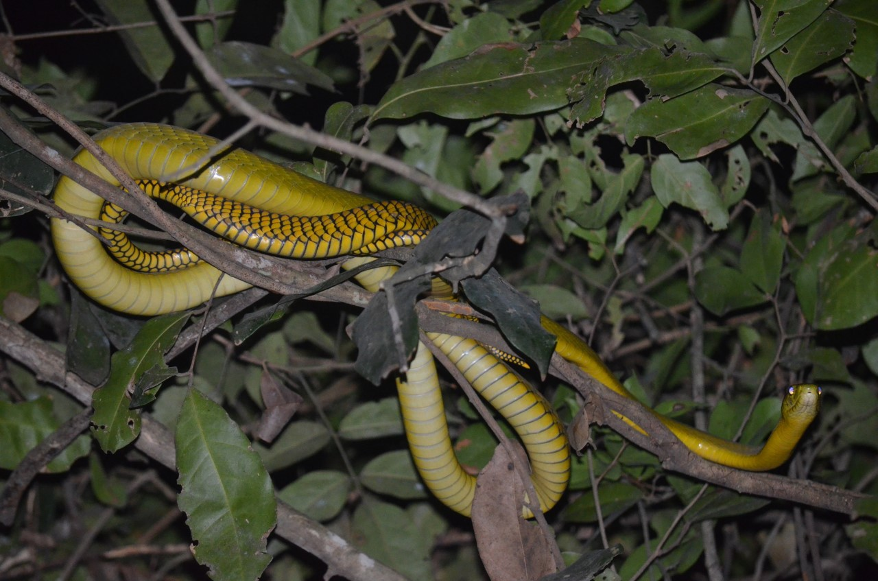 Dendroaspis Jamesoni (Jameson's mamba): This is a shy, slender and quick green snake with an average length of 1.5 meters. (Photo/Timothy Sibasi)