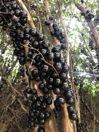 树葡萄果实累累,很受大陆观光果园业者喜爱。台湾媒体记者张家乐/摄影