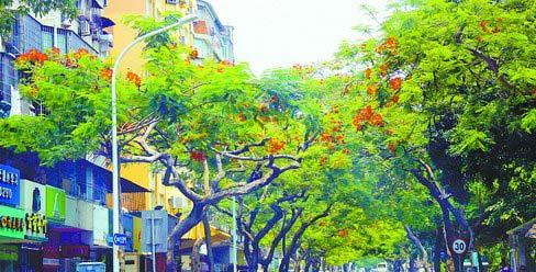 位于莲花北路的凤凰木开出今年第二茬凤凰花。