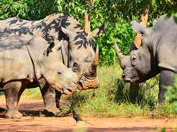 Female and Male Rhinos playing with baby calve. (Photo/Timothy Sibasi)