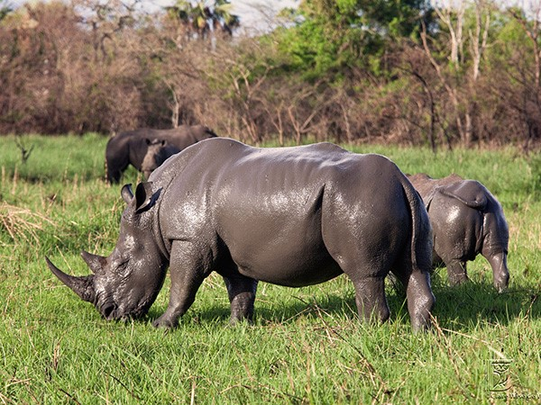 Flock of Rhinos grazing at Ziwa Sanctuary in Murchison Fall National Park. (Photo/Timothy Sibasi)