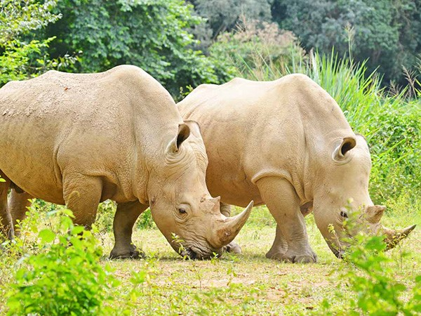 Close up shot of two White Rhinos moving in Ziwa Sanctuary. (Photo/Timothy Sibasi)