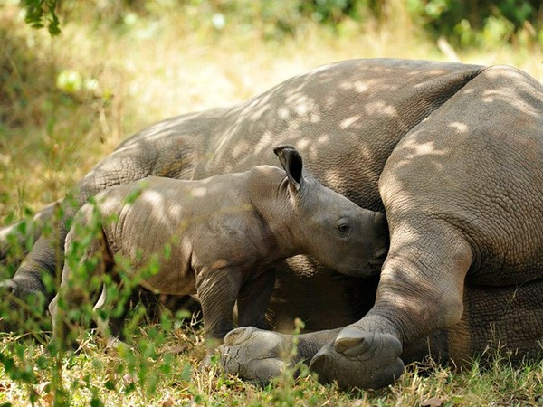 Female Rhino breastfeeding a young calve. (Photo/Timothy Sibasi)