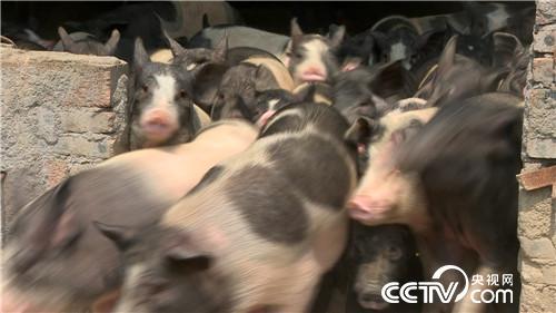 [致富经]时尚妈妈养花猪 一年巧卖800万20180808