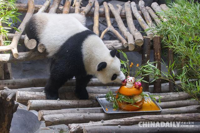 """在南京红山森林动物园,大熊猫在空调房里品尝""""冰镇生日蛋糕""""."""