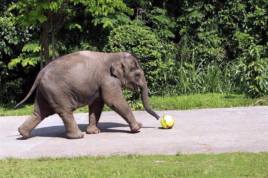 拯救亚洲象的中国行动