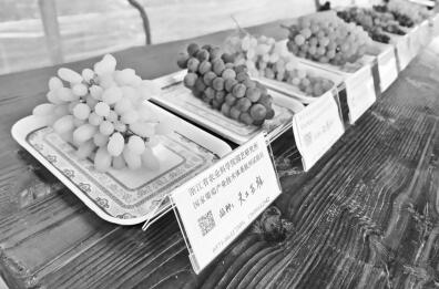 吴江的葡萄创新基地里展示的新品种。朱海洋摄