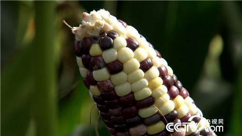 [致富经]花样玉米里外卖 废料卖出一亿多 20180830