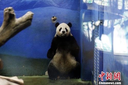 """8月30日,大熊猫团团、圆圆在位于台北木栅的市立动物园迎来14岁""""生日宴""""。图为团团在睡醒后于房间内踱步。中新社记者 杨程晨 摄"""