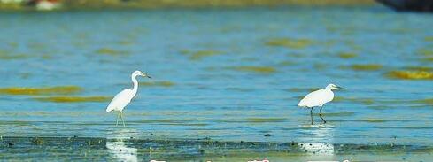 在大嶝大桥下,一只黄嘴白鹭跟在小白鹭身后漫步。(本组图/彭志伟 摄)