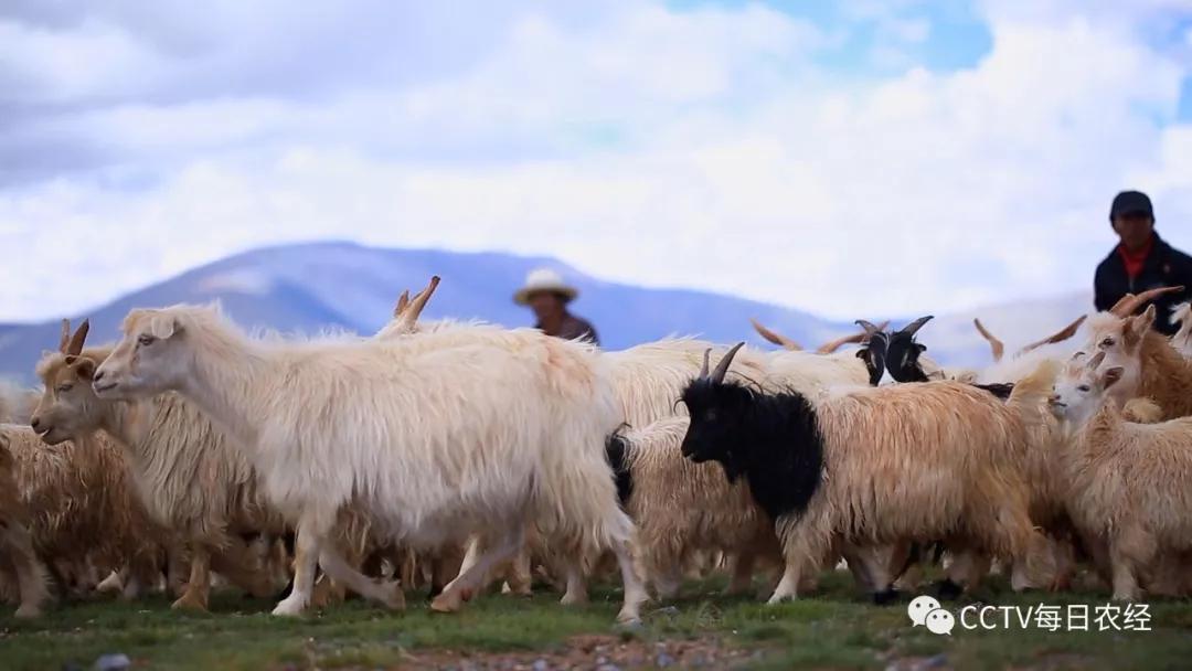 白绒山羊:行走在雪域高原的珍宝