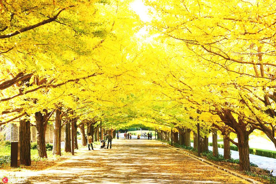 东京昭和记念公园。说起日本的秋天,除了那一大片炙红的红叶,其实还有金黄的银杏,为秋天铺染着浪漫的色彩。
