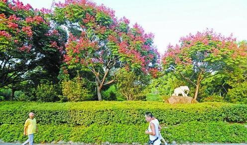 秋意渐浓,仙岳公园的栾树枝头树叶变红了。