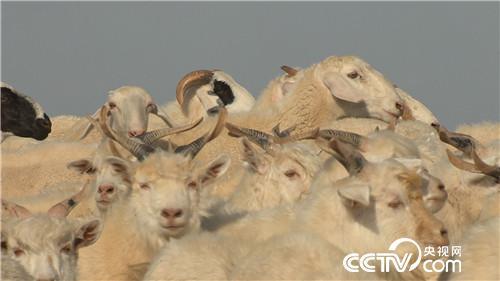 [致富经]上门女婿巧卖羊 一只价值7000元 20181011