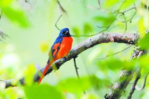 赤红山椒鸟(雄)