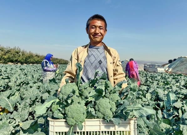 10月22日,乐亭县胡家坨镇东走村的村民在收获西兰花。