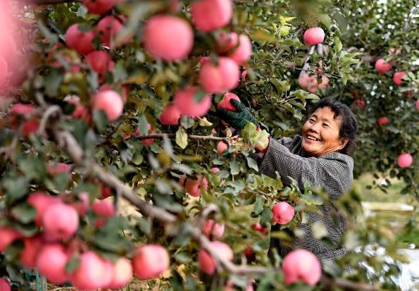 10月22日,乐亭县姜各庄镇南海滨村的果农在采摘苹果。