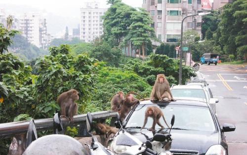 2015年阳明山就有猕猴在民众的汽车、摩托车上爬上爬下嬉戏,造成民众困扰。