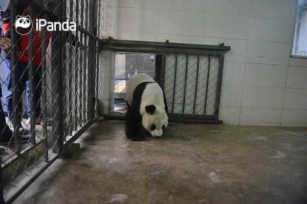 """大熊猫""""高高""""逐步适应新环境"""
