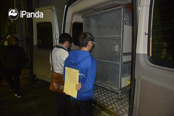 """中国大熊猫保护研究中心兽医和饲养员检查大熊猫""""高高""""身体状况"""