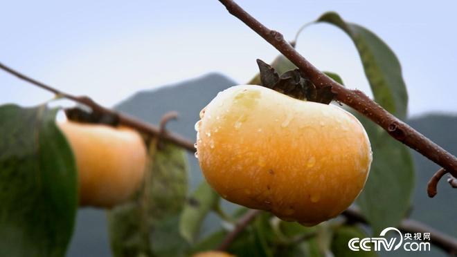 乡土:恭城月柿红了 11月14日