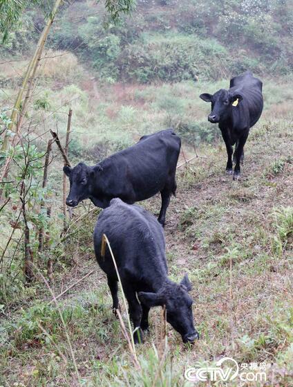 肉牛在广西桂林市平乐县源头镇中垌村车田河天然高山牧场吃草。(谭凯兴 摄)