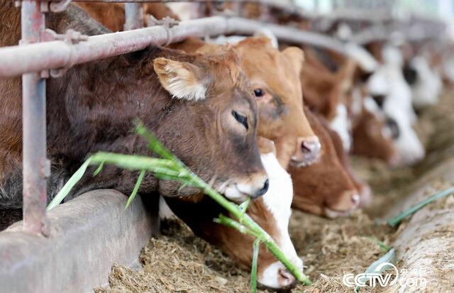 在广西桂林平乐县车田河肉牛循环农业(核心)示范区,西门达尔牛在进食生态饲料。(谭凯兴 摄)