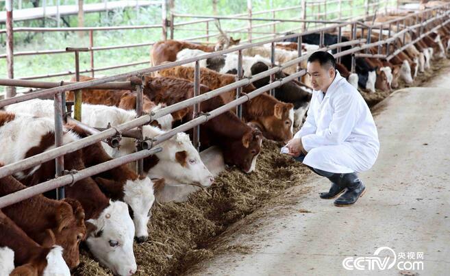 在广西桂林平乐县车田河肉牛循环农业(核心)示范区,养殖技术人员在查看西门达尔肉牛生长情况。(谭凯兴 摄)