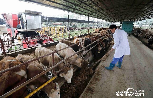 在广西桂林平乐县车田河肉牛循环农业(核心)示范区,工作人员在给牛喂食生态饲料。(谭凯兴 摄)