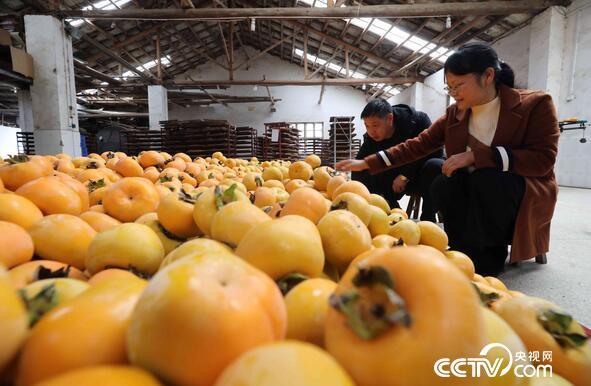 在广西桂林恭城瑶族自治县莲花镇竹山村,工作人员在分拣柿子。(谭凯兴 摄)