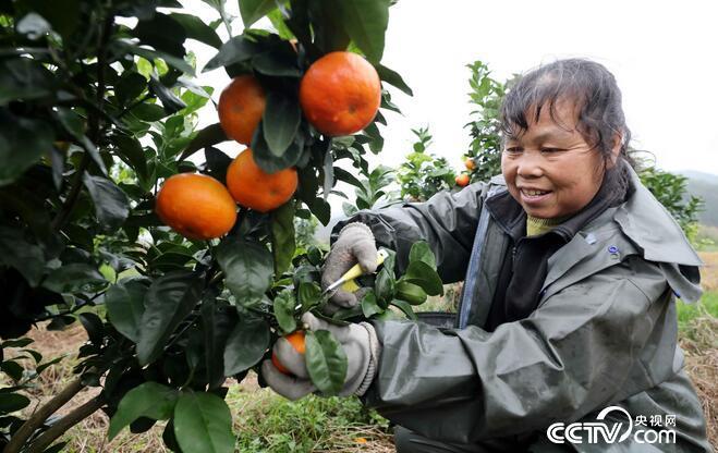 在广西柳州市融安县大良镇和南村西村屯,果农在田间采收蜜桔。(谭凯兴 摄)