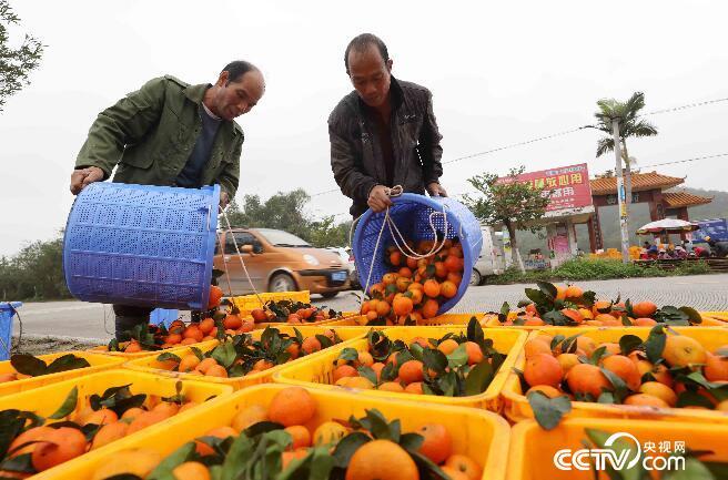 在广西柳州市融安县大良镇和南村,果农把采摘的蜜桔装箱,准备外销。(谭凯兴 摄)