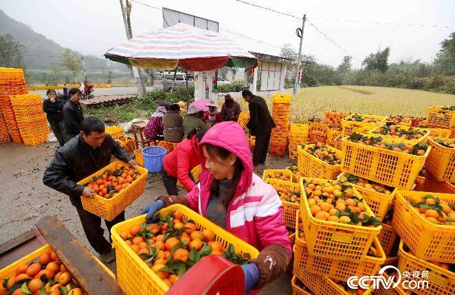 在广西柳州市融安县大良镇和南村,农民将装箱好的蜜桔装车。(谭凯兴 摄)