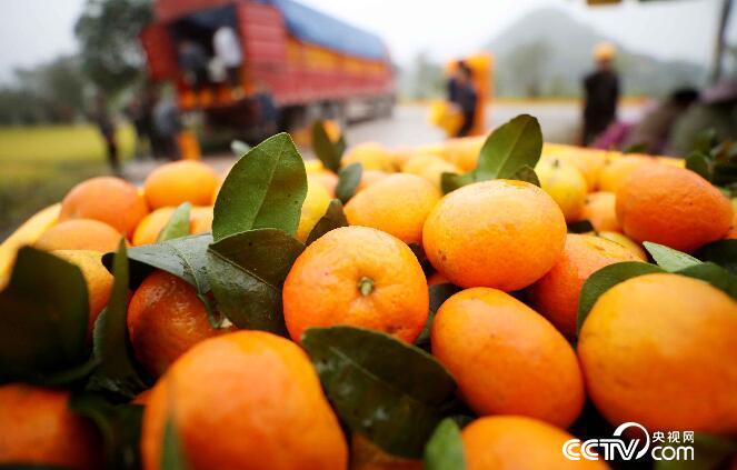 果农在广西柳州市融安县大良镇和南村西村屯收购点把采摘的蜜桔装车,准备外销。(谭凯兴 摄)