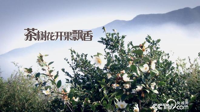 乡土:茶树花开果飘香 11月22日