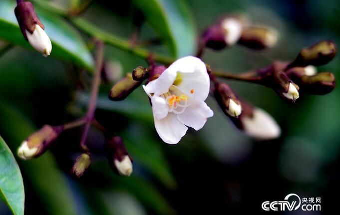 红豆树古树新花