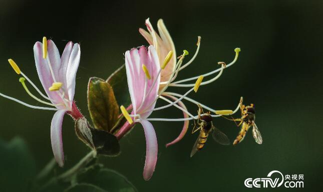 希望之花——金银花