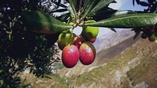 乡土:油橄榄香飘丹江口 11月28日