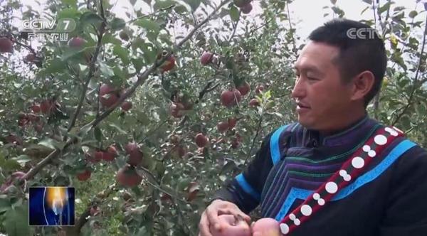 大凉山泸沽湖畔的盐源县香房村村民日火长明靠种植苹果走上了致富路