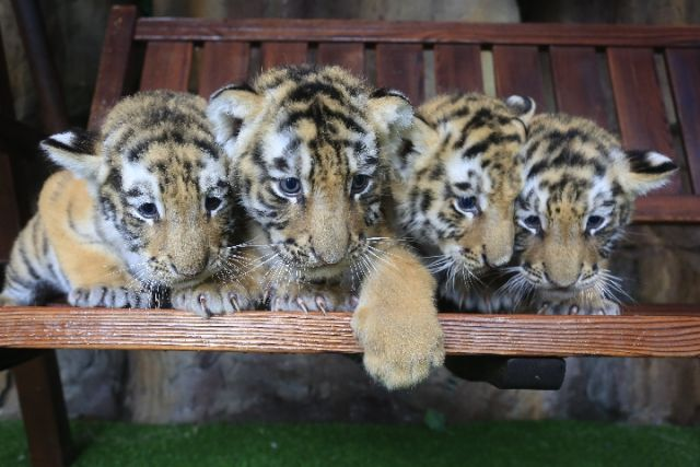 """四只可爱的小老虎。图片由东北虎林园提供   记者27日从中国横道河子猫科动物饲养繁育中心获悉,今年以来这里新增98只虎宝宝,再次壮大了中国人工繁育东北虎种群。   这个中心是世界最大的东北虎人工饲养繁育基地,在哈尔滨、牡丹江等地设有虎林园。   眼下,哈尔滨市最低气温已经降至零下10。不过,位于哈尔滨的黑龙江东北虎林园幼虎""""育婴室""""却温暖如春,温度计显示为25。   35岁的饲养员李鑫告诉记者:""""'育婴室'需全天恒温,以保障小虎健康成长。&r"""
