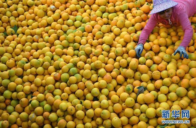 江西省寻乌县晨光镇桂花村的果农在挑拣刚采摘的脐橙(11月10日摄)。新华社记者 万象 摄