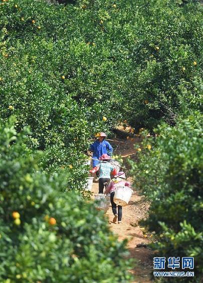 11月11日,江西省寻乌县澄江镇周田村的果农在挑运脐橙。新华社记者 万象 摄