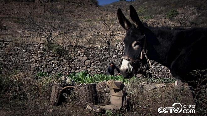 乡土:与驴为伴的人们 12月6日