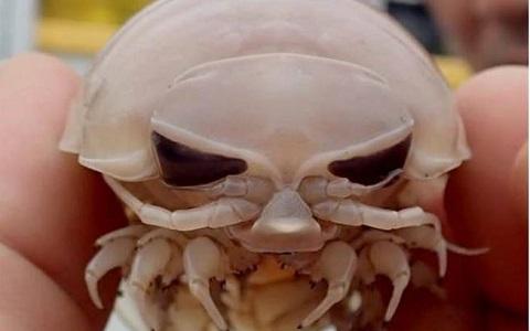 深海大王具足虫(图片来自台媒)