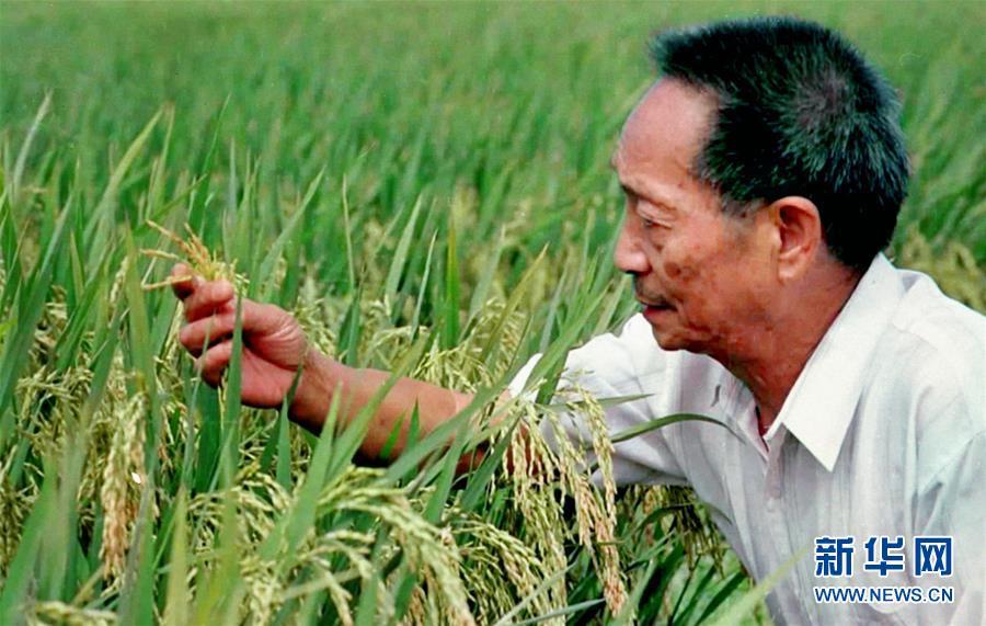 20世纪90年代末,袁隆平在观察两系法杂交晚稻的生长情况(资料照片)。