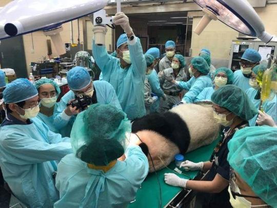 """台北市立动物园联系医疗顾问团队,共同为""""团团""""进行紧急的牙齿检查及处理。(图片取自台媒)"""
