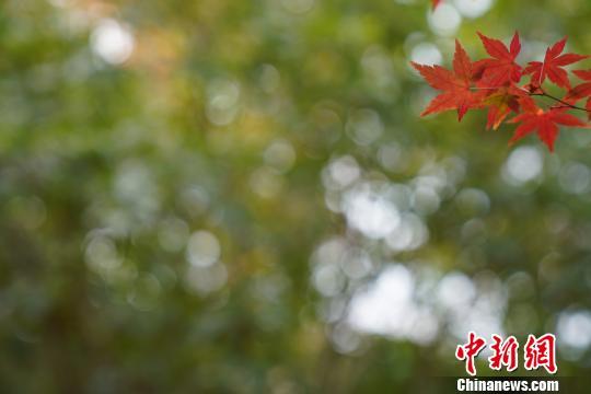 灿若彩霞的枫叶。 周光辉 摄