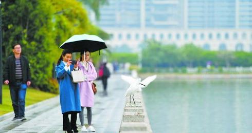 昨日天气阴冷,有细雨飘落。在筼筜湖畔,行人撑着伞,拿出手机拍摄白鹭。